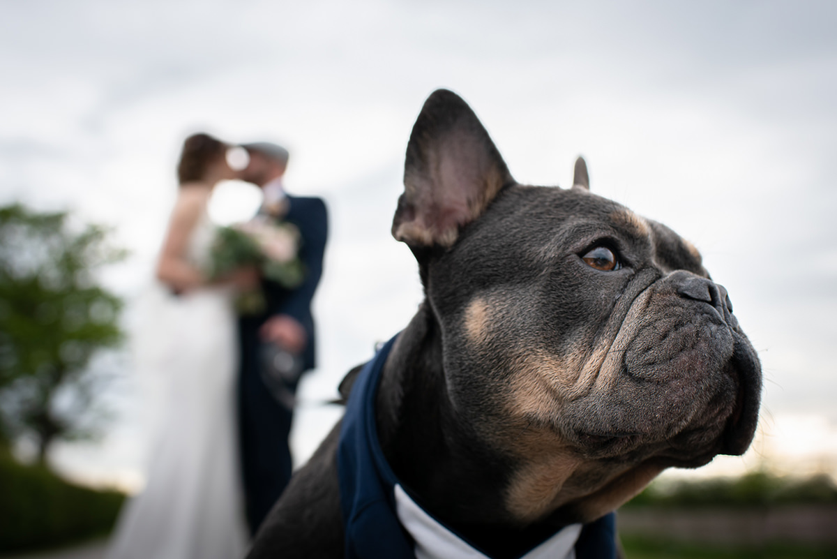 French bulldog posing in front of the bride and groom at their Wellbeing Farm wedding