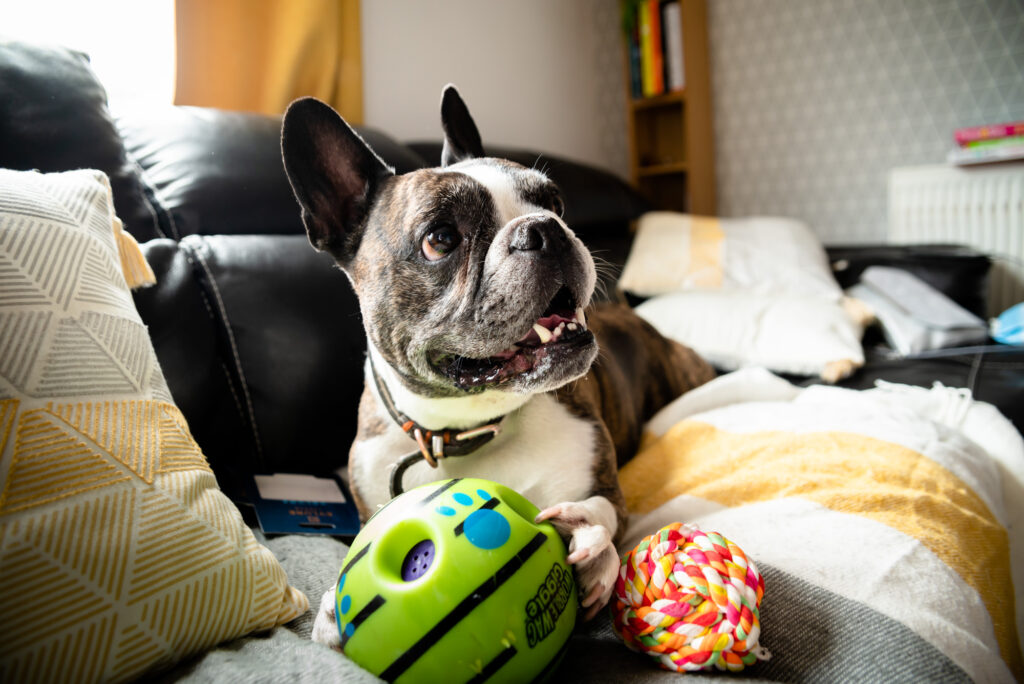 Rascal the french bulldog playing with his toy