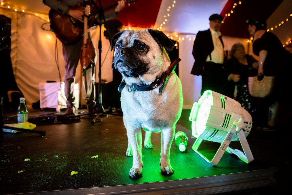 Dog on stage at Gisburn Park Estate