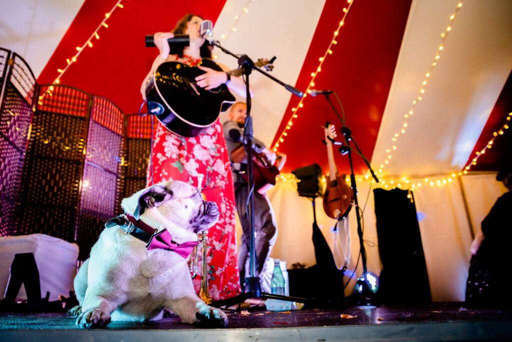 French bulldog enjoying the band playing at Gisburn Park Estate